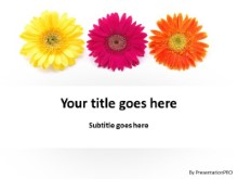 Gerber Daisy Flowers PPT PowerPoint Template Background